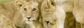Lion Cub With Mother